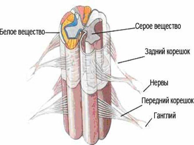 Спинной мозг – строение и функции у человека кратко