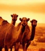 Сообщение о верблюде - описание, виды и среда обитания