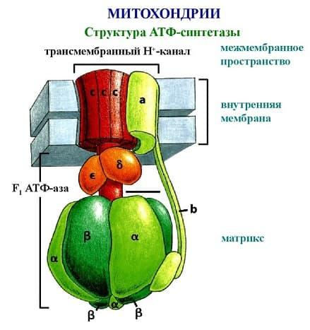 Синтез АТФ - структура, функции и пути образования аденозинтрифосфорной кислоты