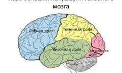 Кора больших полушарий строение и функции, что контролирует, поверхность полушарий головного мозга образована серым веществом, какое преимущество дает складчатость