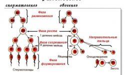 Гаметогенез - стадии, фазы и схема образования половых клеток