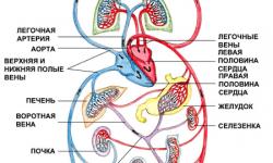 Круги кровообращения кратко и понятно, схема артерий, кровеносных сосудов большого и малого круга, последовательность движения крови по венам