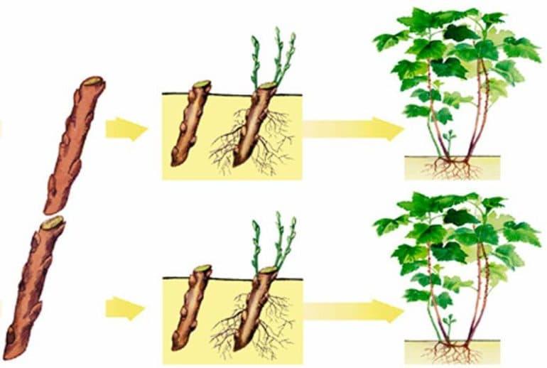 Вегетативный и семенной способ размножения плодовых деревьев - Чудо-огород