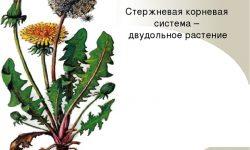 Стержневая корневая система у двудольных растений - строение и типы