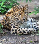 Дальневосточный леопард - краткое описание и характеристика животного для школьников