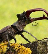 Жук-олень - описание, среда обитания и фото насекомого