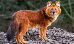 Красный волк - краткое описание животного для детей 2 класса