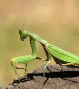 Богомол - описание насекомого, виды и среда обитания