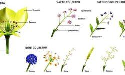 Что такое соцветие - виды, классификация и биологическое значение