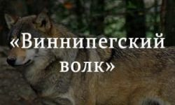 «Виннипегский волк» краткое содержание рассказа Сетон-Томпсона – читать пересказ онлайн