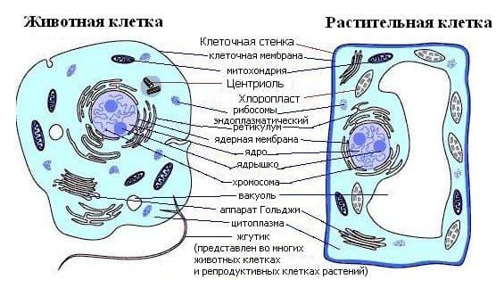 Строение клетки – таблица с органоидами и их функциями (9 класс)