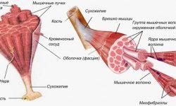 Мышцы человека, анатомия мышечной системы, классификация, виды и функции, строение мышечного пучка, волокна, биомеханика мышц