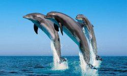 Сообщение о дельфине - описание, характеристика и особенности поведения млекопитающего
