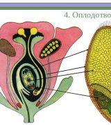 Оплодотворение у растений - кратко об этапах, видах и значении процесса