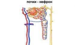 Нефрон определение структурной и функциональной единицы почки, строение слоев, элементов и отделов и их функции, виды, физиология