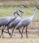 Рассказ про журавля - описание, виды и среда обитания птицы