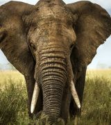Описание слона - характеристика, виды и образ жизни животного