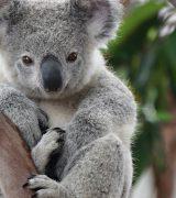 Сообщение про коалу - описание, образ жизни и интересные факты о травоядном животном