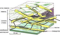 Клеточная стенка - строение, состав и основные функции