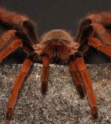 Доклад про тарантула - описание, строение и характеристика паука