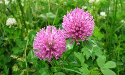 Клевер луговой - описание, характеристика и лечебные свойства растения